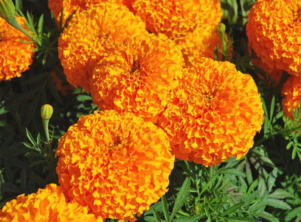 9 Health Benefits of Marigold